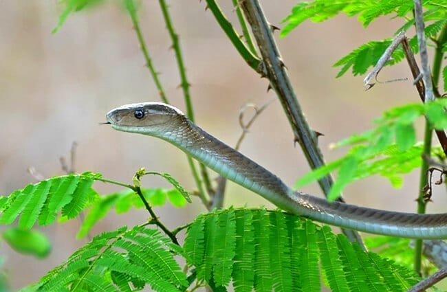 Juvenile Black Mamba in the bushes Photo by: Bernard DUPONT https://creativecommons.org/licenses/by-sa/2.0/