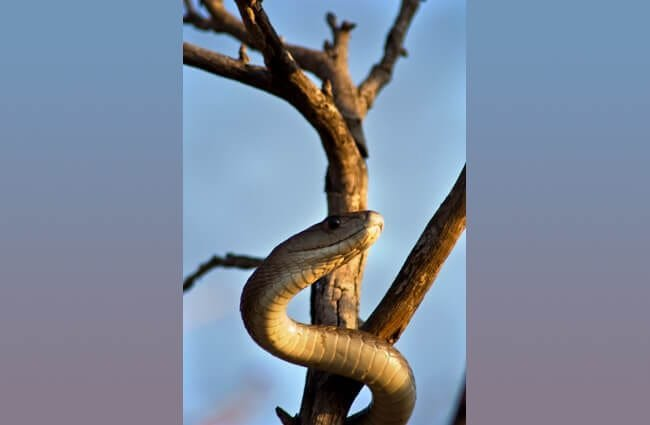Black Mamba wrapped around a dead tree Photo by: Steven Gilham https://creativecommons.org/licenses/by-sa/2.0/