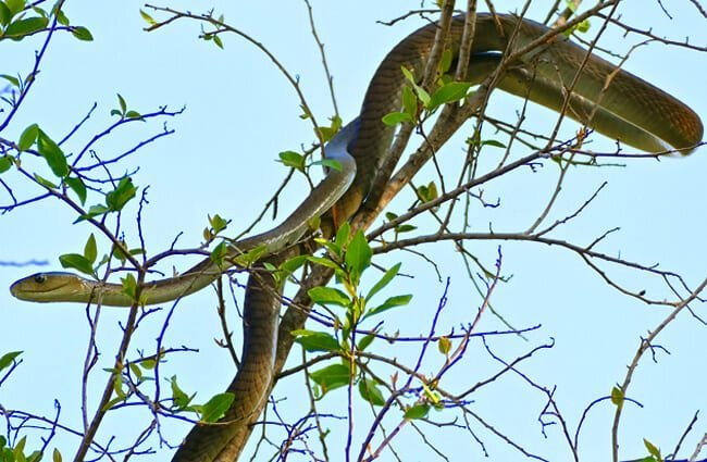 Young Black Mamba on top of a tree Photo by: Bernard DUPONT https://creativecommons.org/licenses/by-sa/2.0/