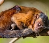Sleeping Capuchin Monkey Photo By: Tambako The Jaguar //creativecommons.org/licenses/by-Nd/2.0/