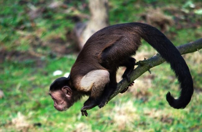Capuchin poised to jump from a branch Photo by: Magnus Hagdorn https://creativecommons.org/licenses/by-nd/2.0/