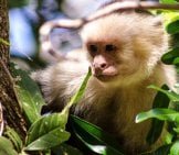 White-Faced Capuchin Peeking Through The Foliage Photo By: Jaan //creativecommons.org/licenses/by-Nd/2.0/