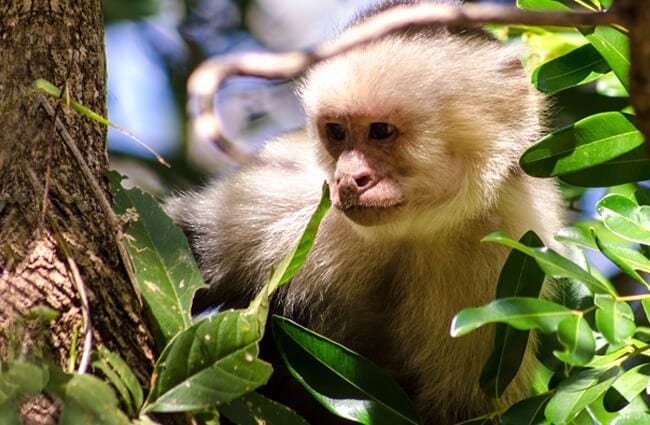 White-Faced Capuchin peeking through the foliage Photo by: Jaan https://creativecommons.org/licenses/by-nd/2.0/
