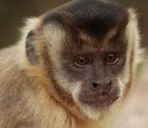 Portrait Of A Beautiful Capuchinphoto By: Nelson Brazys Nelson//pixabay.com/photos/the-Capuchin-Monkey-Monkey-Primates-3905317/