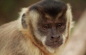 Portrait of a beautiful CapuchinPhoto by: Nelson Brazys Nelsonhttps://pixabay.com/photos/the-capuchin-monkey-monkey-primates-3905317/