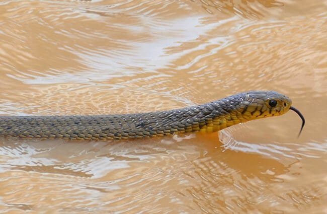 Forest Cobra crossing the lake Photo by: Bernard DUPONT https://creativecommons.org/licenses/by-sa/2.0/