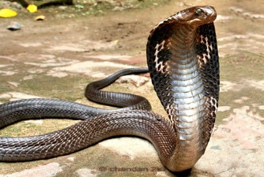 Indian Spectacled Cobra, hood extendedPhoto by: Chandan Singhhttps://creativecommons.org/licenses/by-sa/2.0/