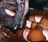 Broad-Banded Copperhead Photo By: Bernard Dupont Https://creativecommons.org/licenses/by-Sa/2.0/