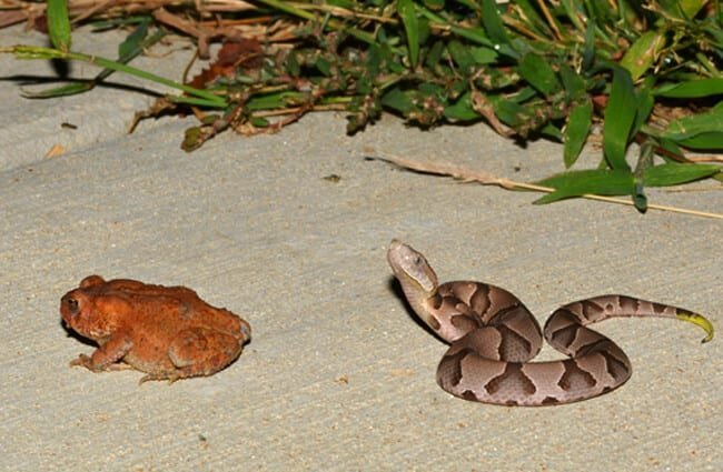 A young Eastern Copperhead contemplates a toad Photo by: Andy Reago & Chrissy McClarren https://creativecommons.org/licenses/by-sa/2.0/
