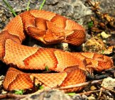 Osage Copperheadphoto By: Peter Paplanushttps://creativecommons.org/licenses/by-Sa/2.0/