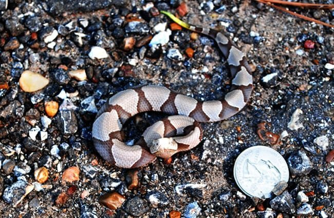 Baby Southern Copperhead Photo by: Patrick Feller https://creativecommons.org/licenses/by-sa/2.0/