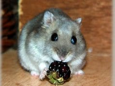 Dwarf Hamster nibbles a berryPhoto by: Jannes Pockelehttps://creativecommons.org/licenses/by/2.0/