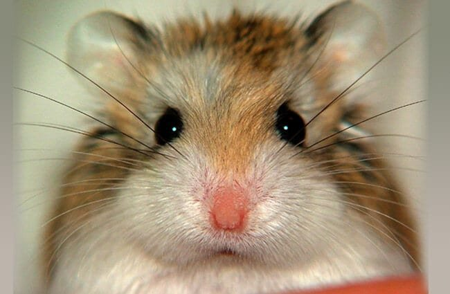 Closeup of a cute little Dwarf Hamster Photo by: Jannes Pockele https://creativecommons.org/licenses/by/2.0/