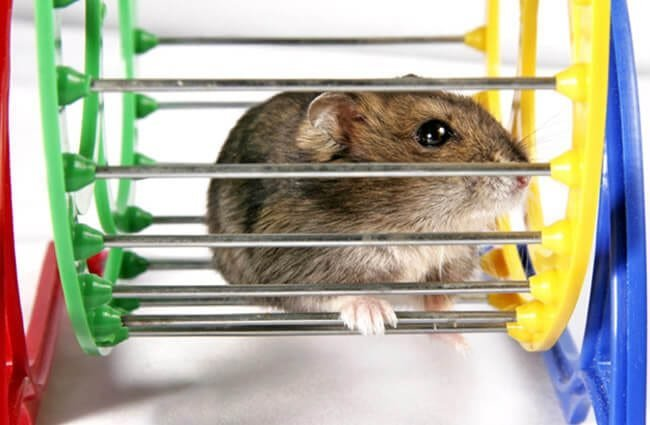 Dwarf Hamster resting on his wheel Photo by: (c) Pitroviz www.fotosearch.com