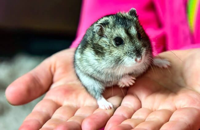 Grey Dwarf Hamster Photo by: (c) zilber42 www.fotosearch.com
