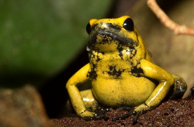 Golden Dart Frog – the most poisonous vertebrate in the world Photo by: Brian Gratwicke https://creativecommons.org/licenses/by/2.0/