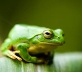 Frog On Corn Leafphoto By: Joi Itohttps://creativecommons.org/licenses/by/2.0/