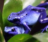 Poison Dart Frogs Photo By: Cuatrok77 Https://Creativecommons.org/Licenses/By/2.0/
