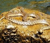 Aquatic Garter Snake Sunning On A Rock, By The Rogue River Photo By: Bureau Of Land Management Oregon And Washington Https://creativecommons.org/licenses/by/2.0/