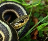 Eastern Garter Snake In The Grass Photo By: Mark Nenadov Https://creativecommons.org/licenses/by/2.0/