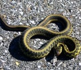 Common Garter Snake Startled On The Driveway Photo By: Greg Schechter Https://creativecommons.org/licenses/by/2.0/