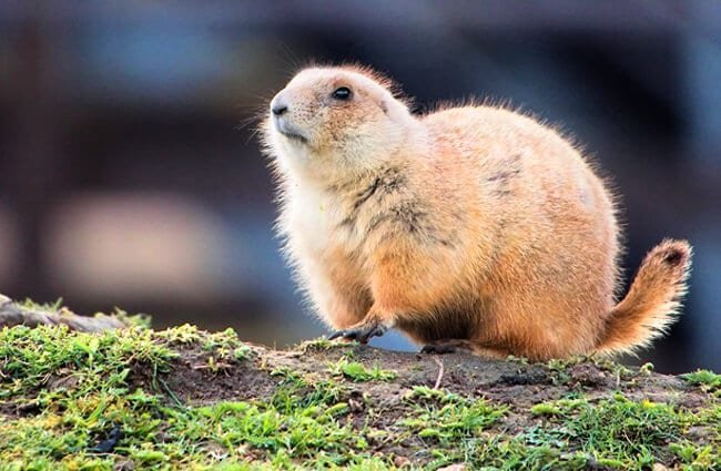 Portrait of a beautiful gopher Photo by: Airwolfhound https://creativecommons.org/licenses/by/2.0/