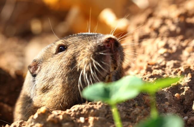 Gopher dragging leavesPhoto by: siamesepuppyhttps://creativecommons.org/licenses/by/2.0/