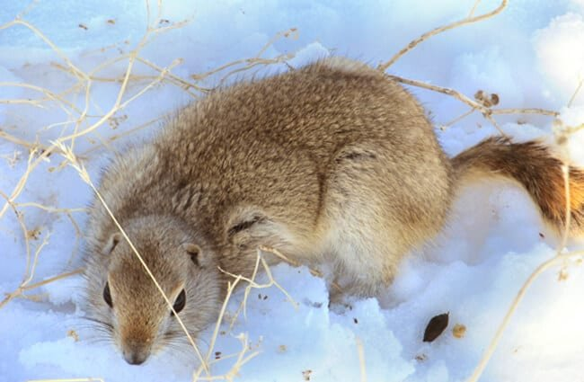 Gopher in the snow Photo by: USDA NRCS Montana (public domain) https://creativecommons.org/licenses/by/2.0/