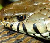 Closeup Of A Grass Snake's Head Photo By: Bernard Dupont Https://creativecommons.org/licenses/by-Sa/2.0/