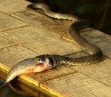 Grass Snake Eating A Fish Photo By: Babij Https://creativecommons.org/licenses/by-Sa/2.0/
