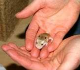 Baby Hamster Photo By: Rob Simmonds Https://creativecommons.org/licenses/by-Nd/2.0/