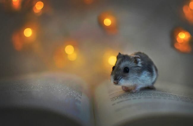 So cute! A tiny hamster reading by fairy lights. Photo by: Ivana Kohoutová https://pixabay.com/photos/hamster-book-lights-rest-pet-3712820/