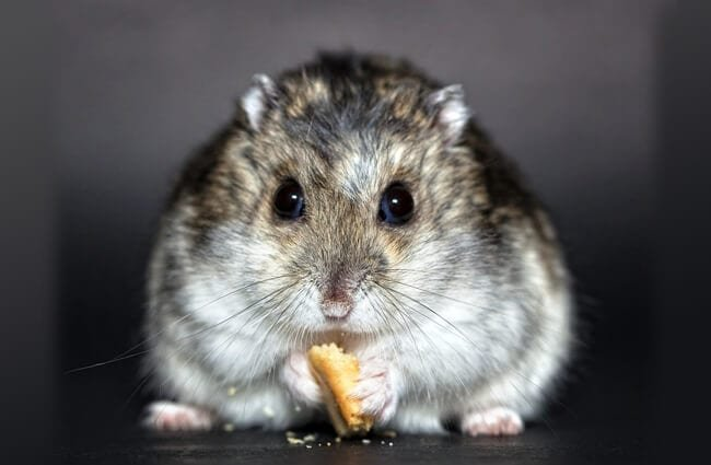Closeup of a hungry Dwarf Hamster Photo by: Christine Trewer https://pixabay.com/photos/hamster-rodent-dwarf-hamster-nager-1772742/