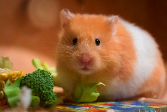 hamster eating broccoliPhoto by: mordilla-nethttps://pixabay.com/photos/cute-small-portrait-goldhamster-3161014/