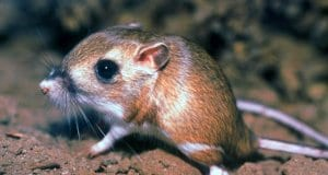 Tipton Kangaroo Rat, now endangeredPhoto by: Pacific Southwest Region USFWShttps://creativecommons.org/licenses/by/2.0/