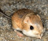 Cute Little Merriam's Kangaroo Rat Photo By: Marshal Hedin Https://creativecommons.org/licenses/by/2.0/