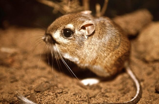Federally endangered Morro Bay Kangaroo Rat Photo by: Pacific Southwest Region USFWS https://creativecommons.org/licenses/by/2.0/
