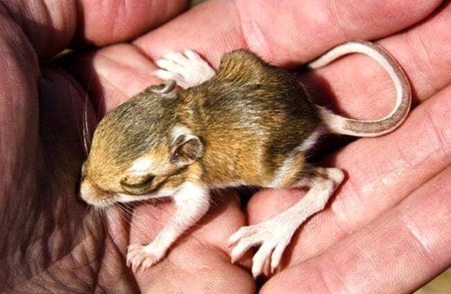 A baby Chisel-Toothed Kangaroo Rat Photo by: (c) Lushpix www.fotosearch.com
