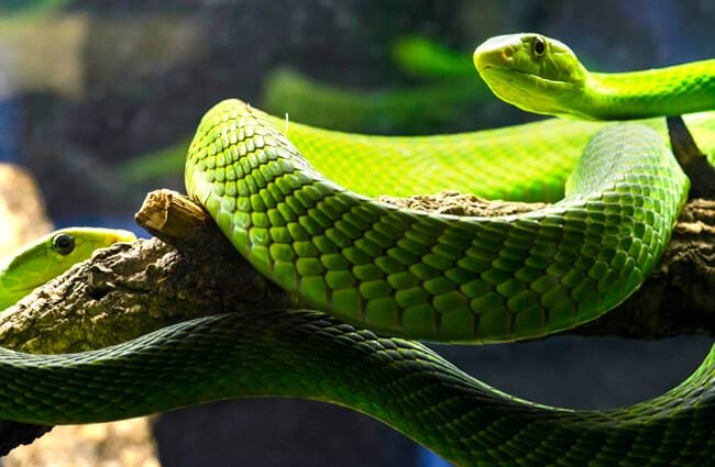 Eastern Green Mamba Photo by: hape662 https://creativecommons.org/licenses/by-sa/2.0/