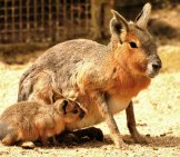 Patagonian Mara Mother With Her Pup Photo By: John5199 Https://creativecommons.org/licenses/by/2.0/
