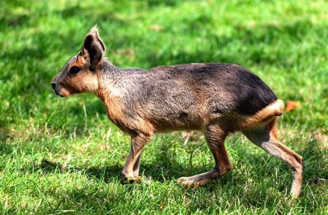 Patagonian Mara on the move Photo by: TheOtherKev https://pixabay.com/photos/patagonian-mara-mara-rodent-captive-4339211/
