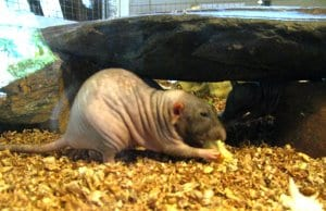 Naked Mole Rat – notice how wrinkly he is!Photo by: Holiday Pointhttps://creativecommons.org/licenses/by-nd/2.0/