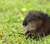 Baby Muskrat In The Back Yard Photo By: Photochem_Pa Https://creativecommons.org/licenses/by/2.0/