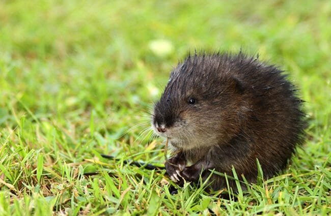 Baby Muskrat in the back yard Photo by: photochem_PA //creativecommons.org/licenses/by/2.0/