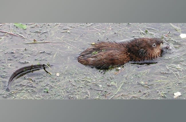 Muskrat in the water – notice his long, thin tail! Photo by: Mike Bowler https://creativecommons.org/licenses/by/2.0/