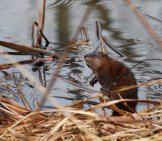 Muskrat By The River Photo By: Joshua Mayer //creativecommons.org/licenses/by/2.0/