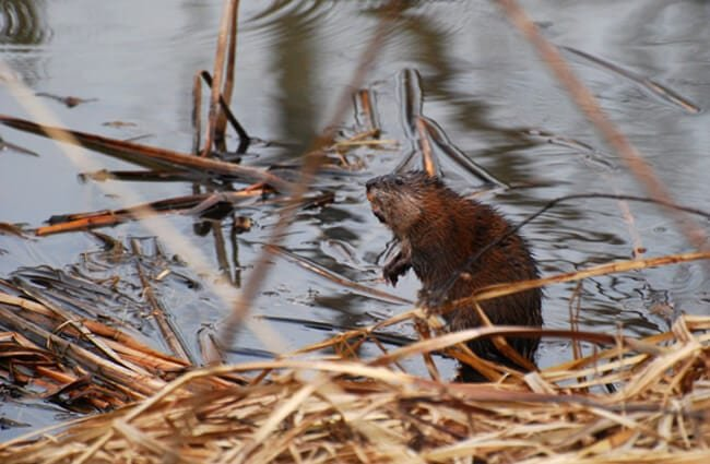 Muskrat by the river Photo by: Joshua Mayer https://creativecommons.org/licenses/by/2.0/