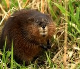 Muskrat Closeupphoto By: Tim Lenz//creativecommons.org/licenses/by/2.0/
