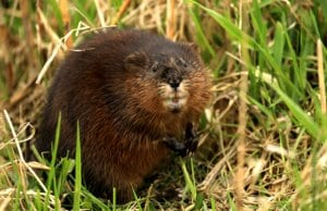 Muskrat closeupPhoto by: Tim Lenzhttps://creativecommons.org/licenses/by/2.0/