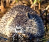 Chubby Little Muskrat Eating A Snack Photo By: Sven Lachmann //pixabay.com/photos/muskrat-River-Ondatra-Zibethicu-2228582/